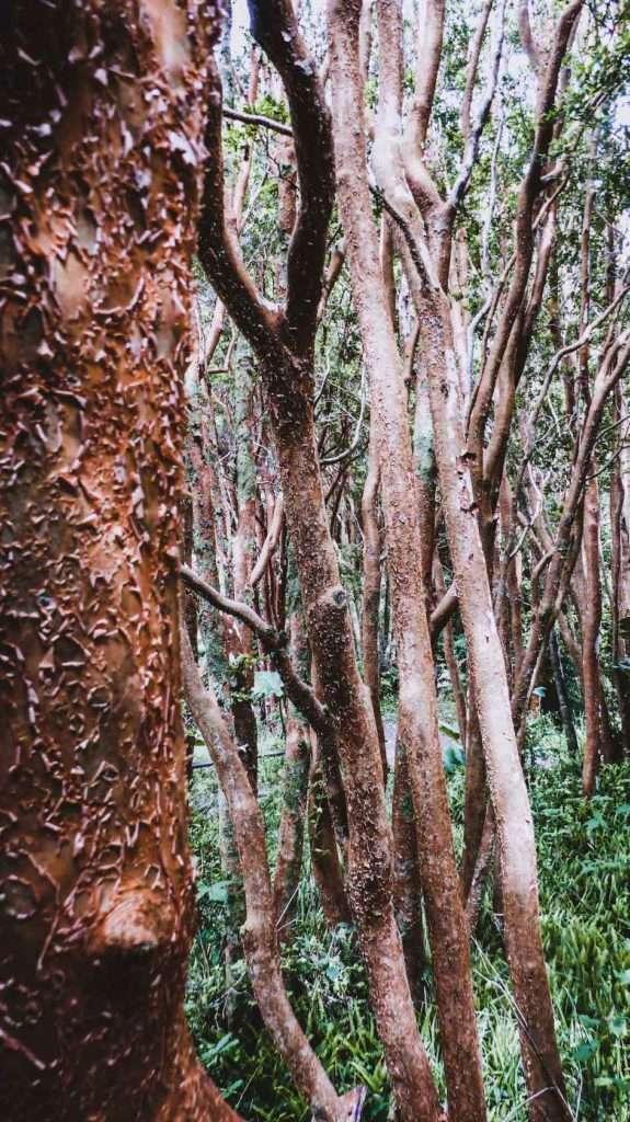 Arbres Parc National de Chiloé