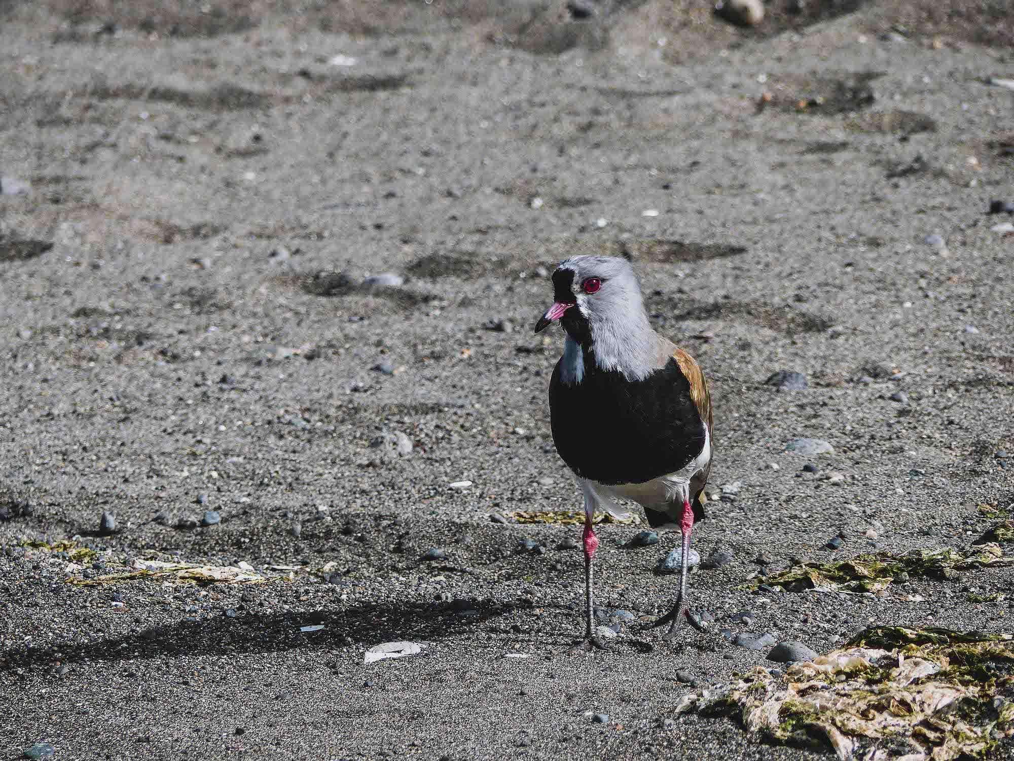 Oiseau sur la plage d'Achao